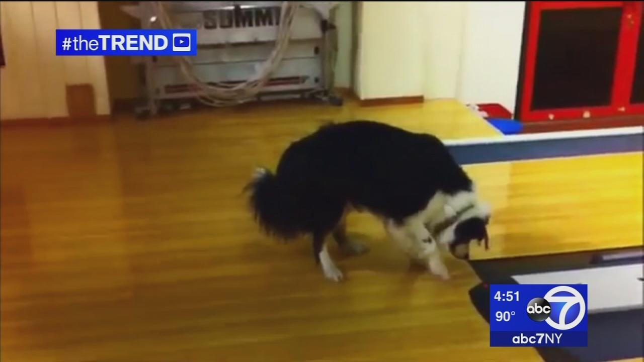 The Trend: Dog discovers buzzer at local bowling alley