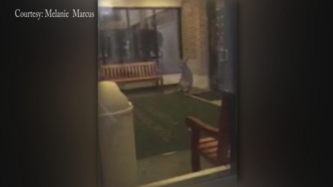 Cellphone video shows deer trapped in school