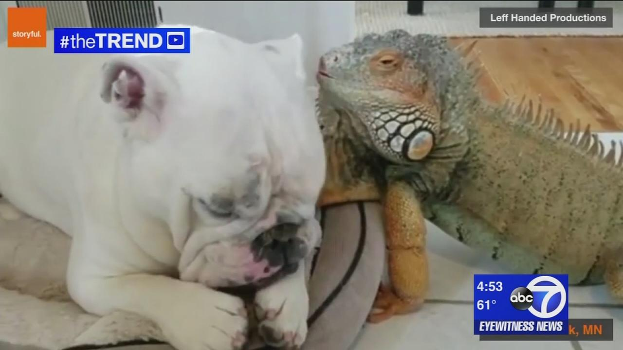 The Trend: Bull dog and iguana are best friends who nap together