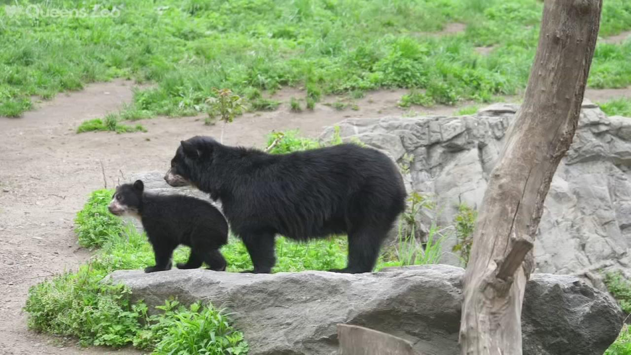 Queens Zoo debuts Andean bear cub