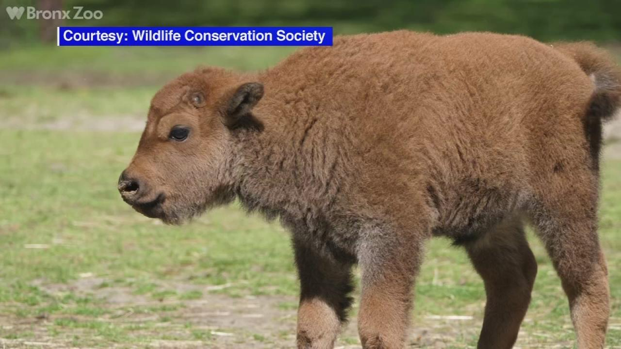 6 bison calves born at the Bronx Zoo