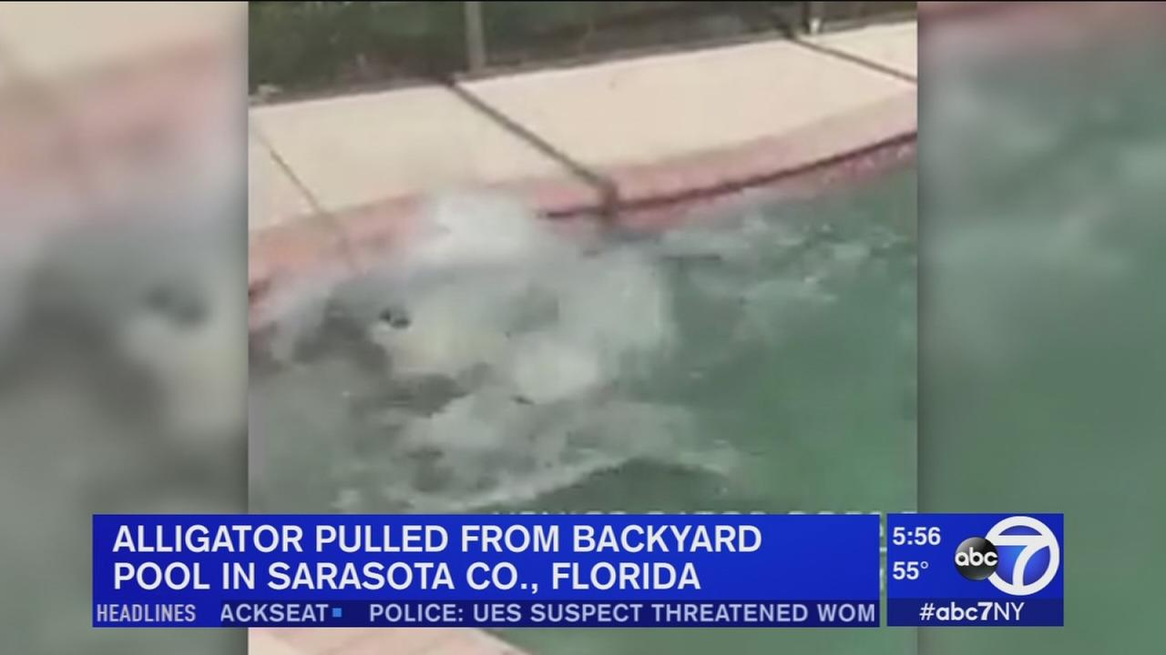 Alligator pulled from Florida swimming pool