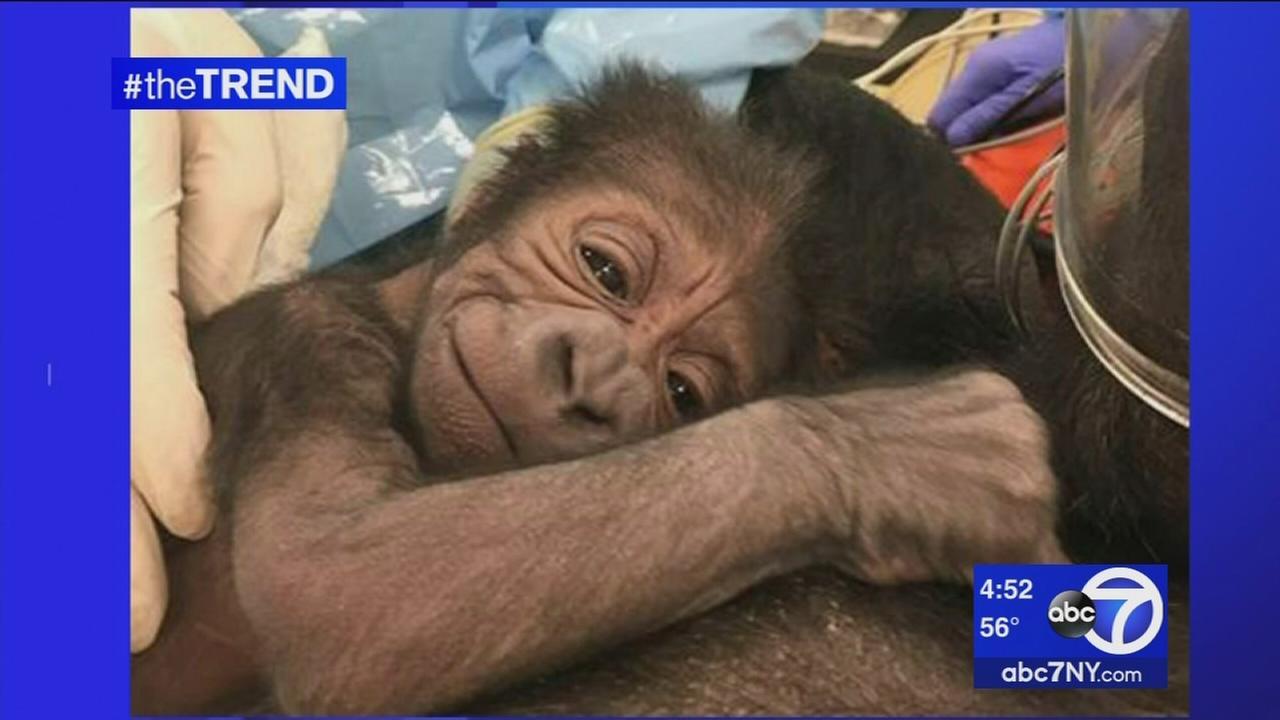 The Trend: Baby gorilla born at Philadelphia Zoo