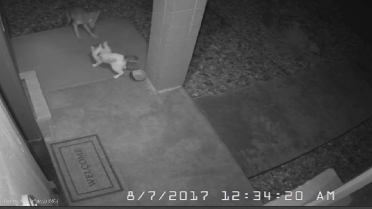 Home camera captures dramatic encounter between cat, coyote