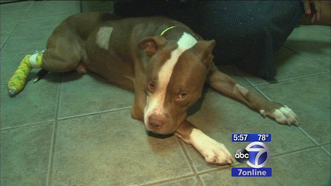 Pitbull reunited with owner after accident