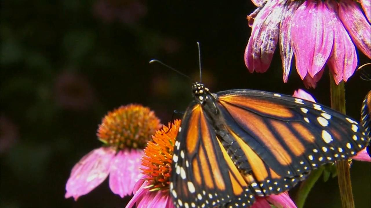 Butterflies fly back to Museum of Natural History, marking milestone