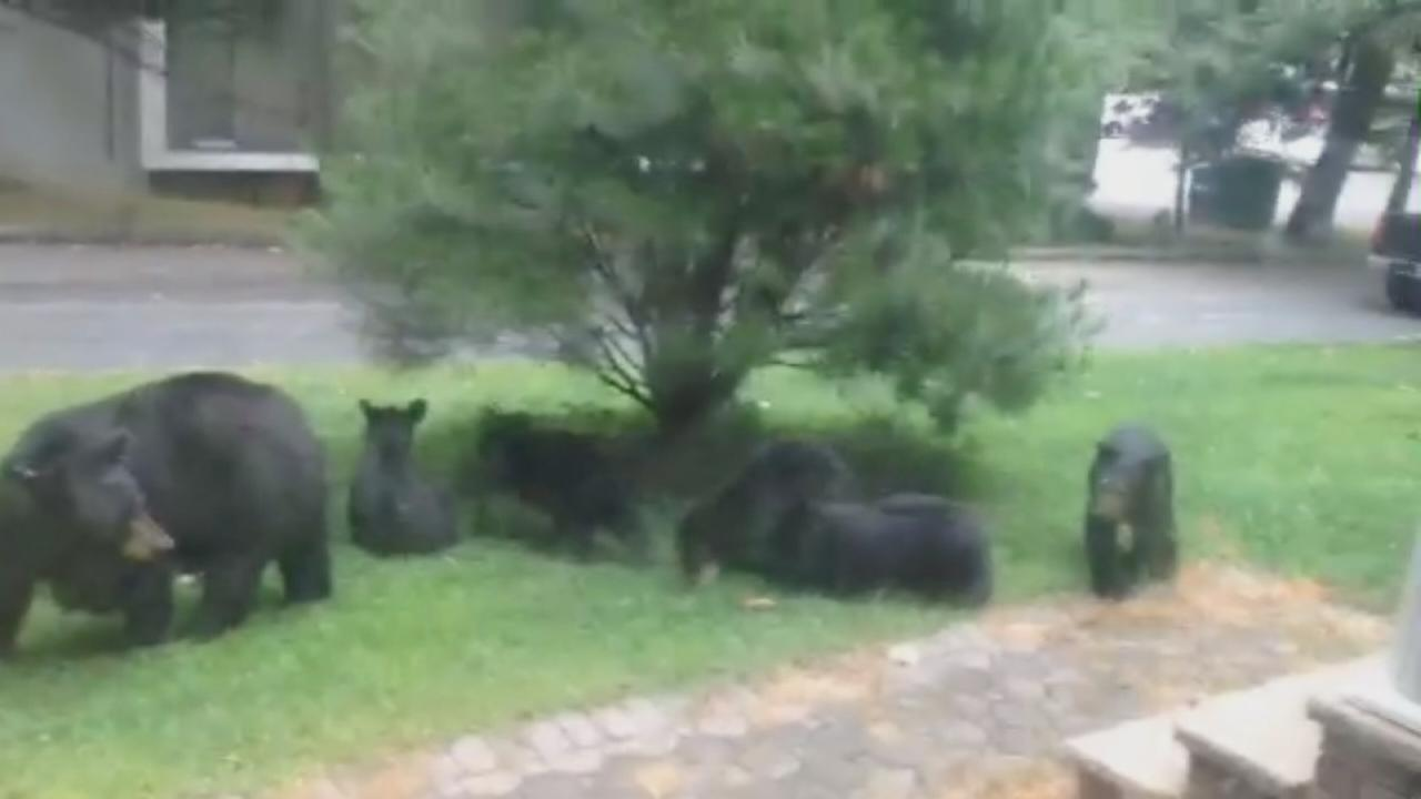Family of bears on NJ lawn