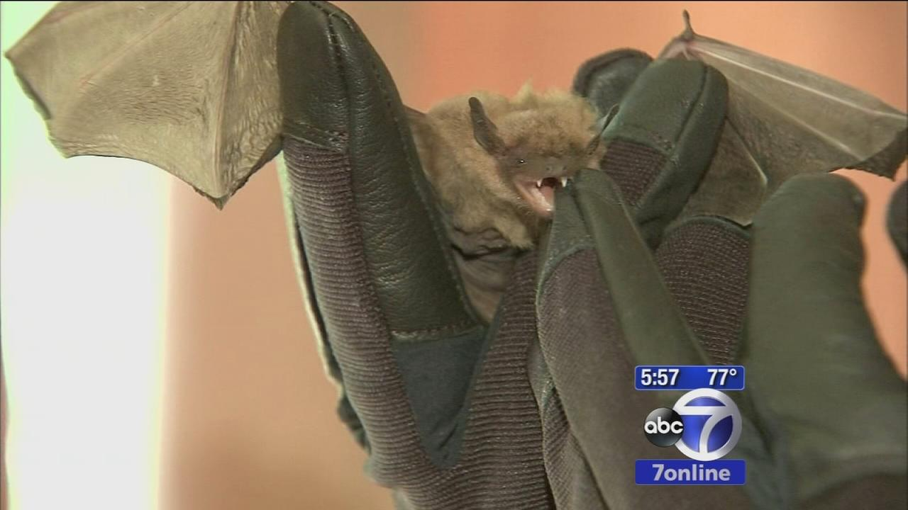 Bats are back in Westchester