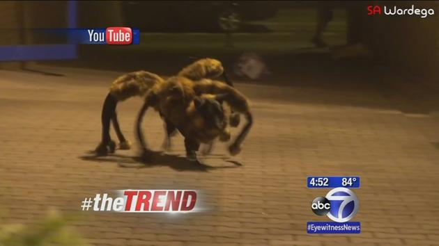 Giant Spider Eating Dog The Trend a Giant Dog Spider