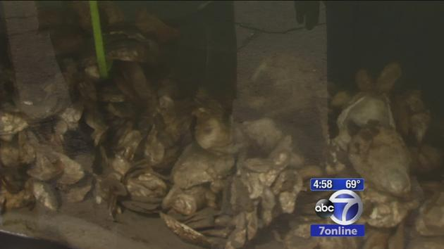 Oysters flourishing off Lower Manhattan