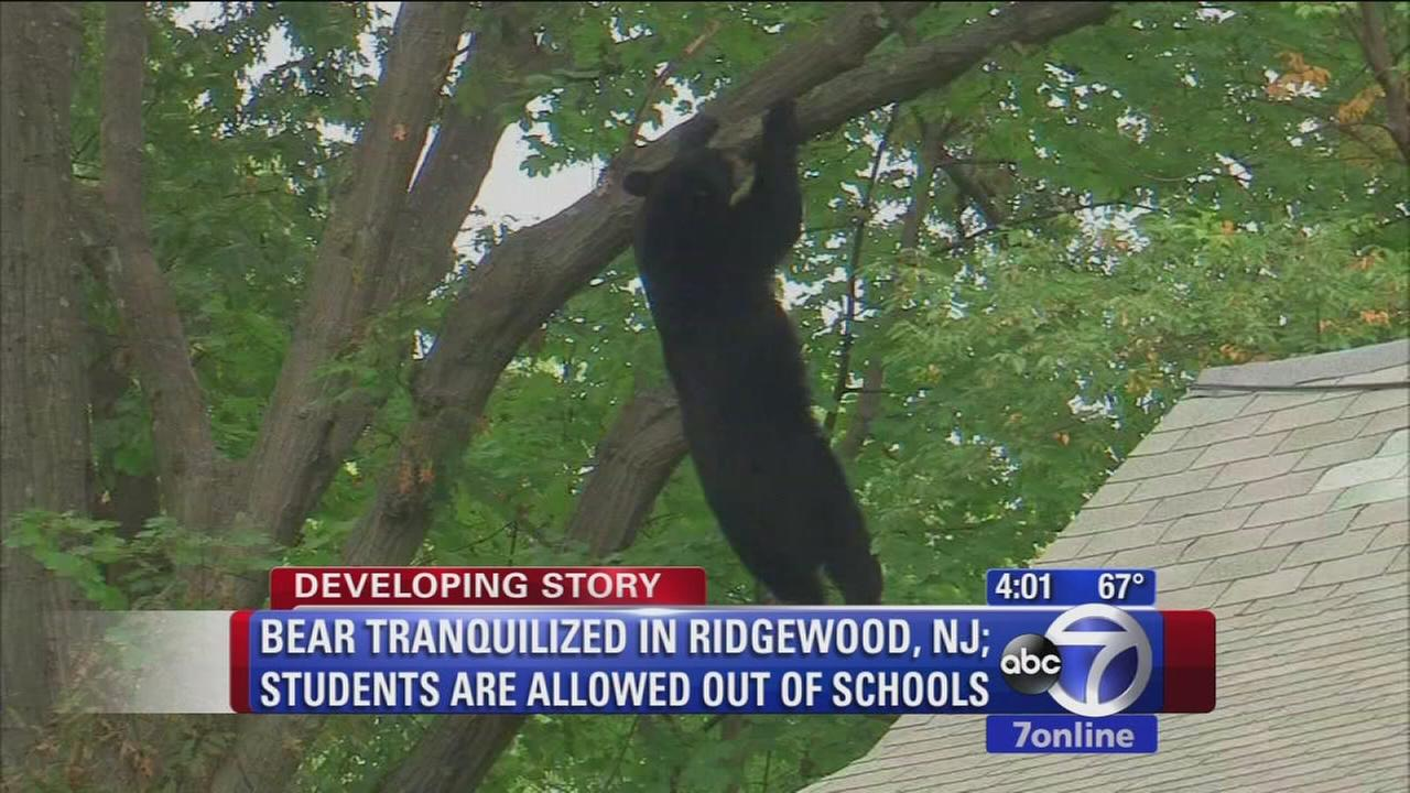 Roaming bear captured near NJ school