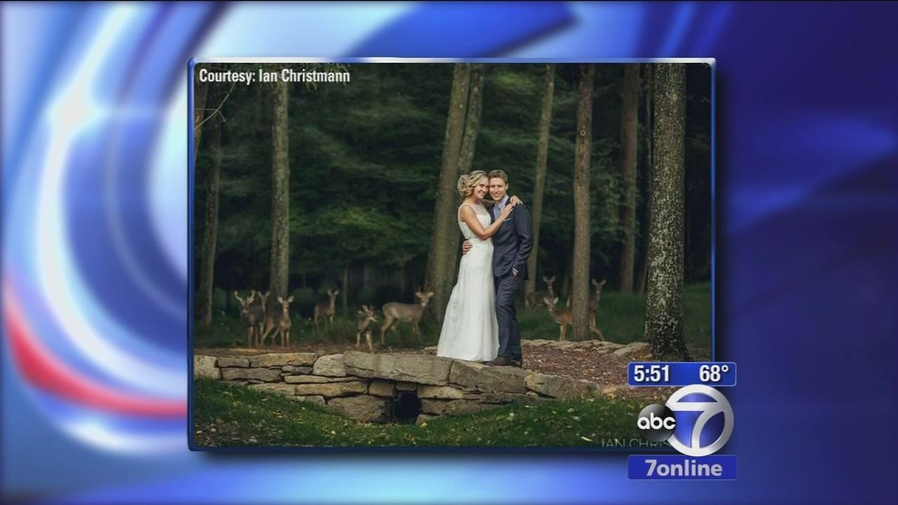 Deerly beloved: Deer photobomb wedding