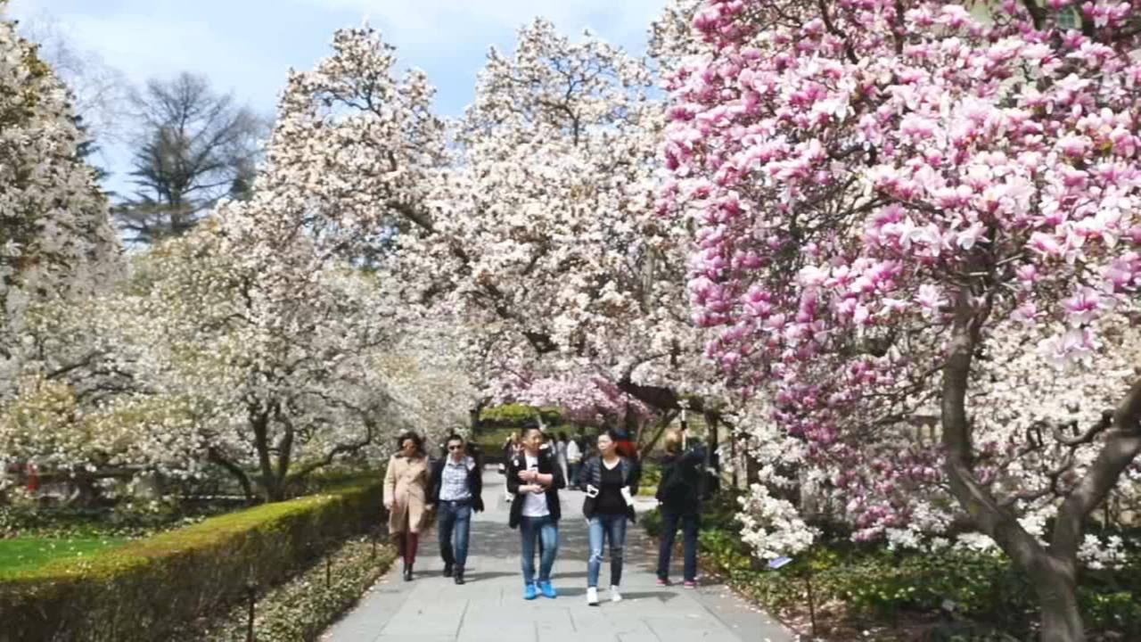 Japanese culture helps Cherry Blossom festival bloom