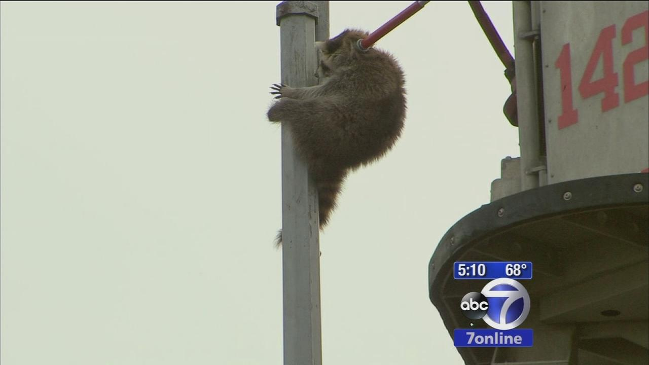 Raccoon rescued from Queens light pole