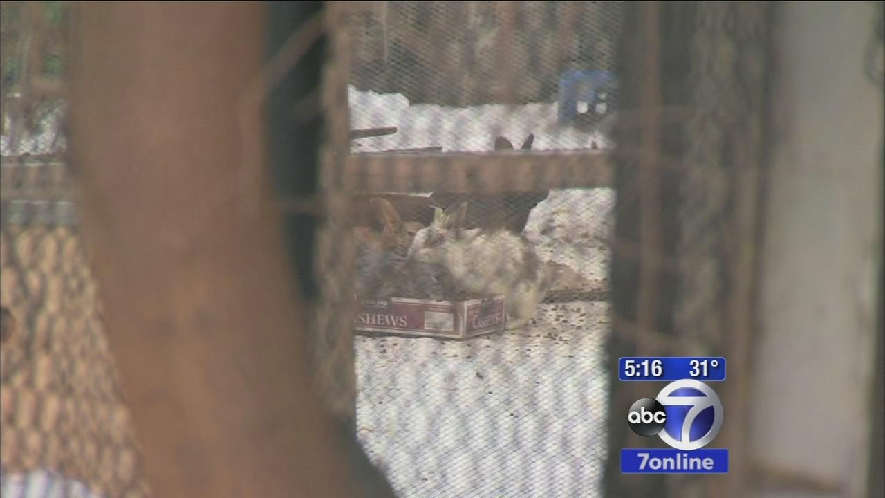 More than 100 rabbits rescued from Brooklyn yard