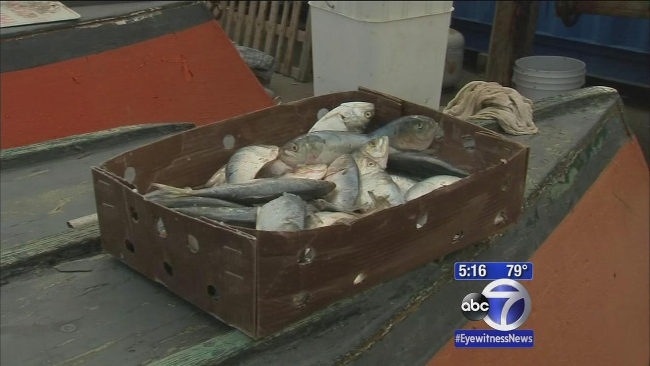 Tens of thousands of dead fish wash up on Jersey shore