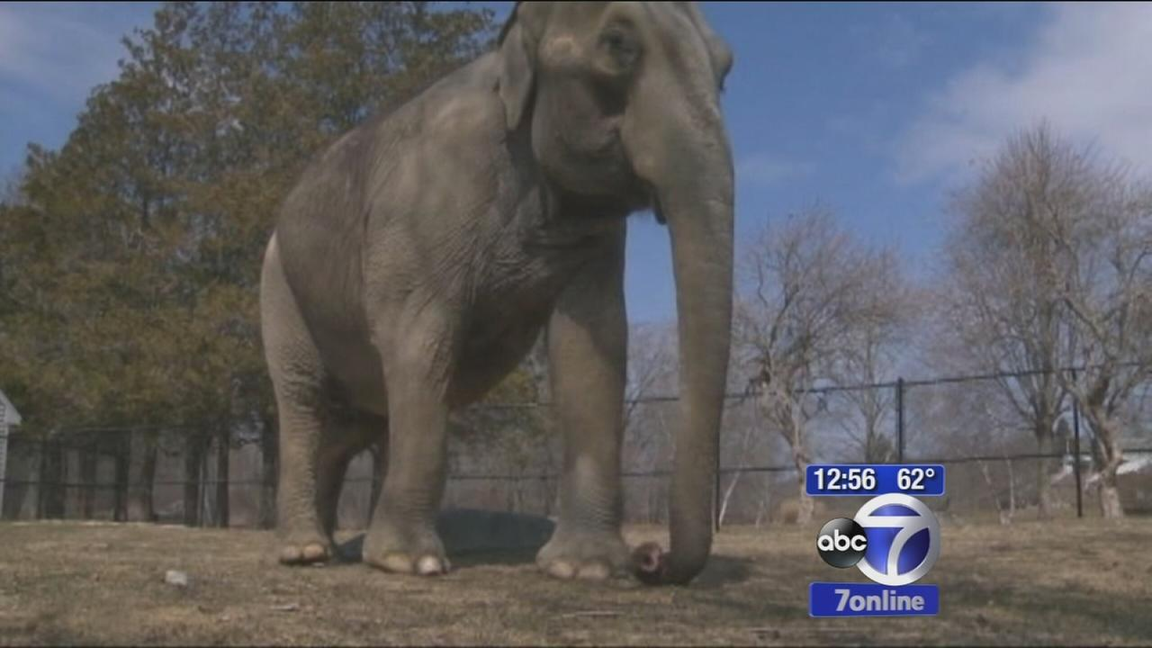 Warring elephants in a zoo