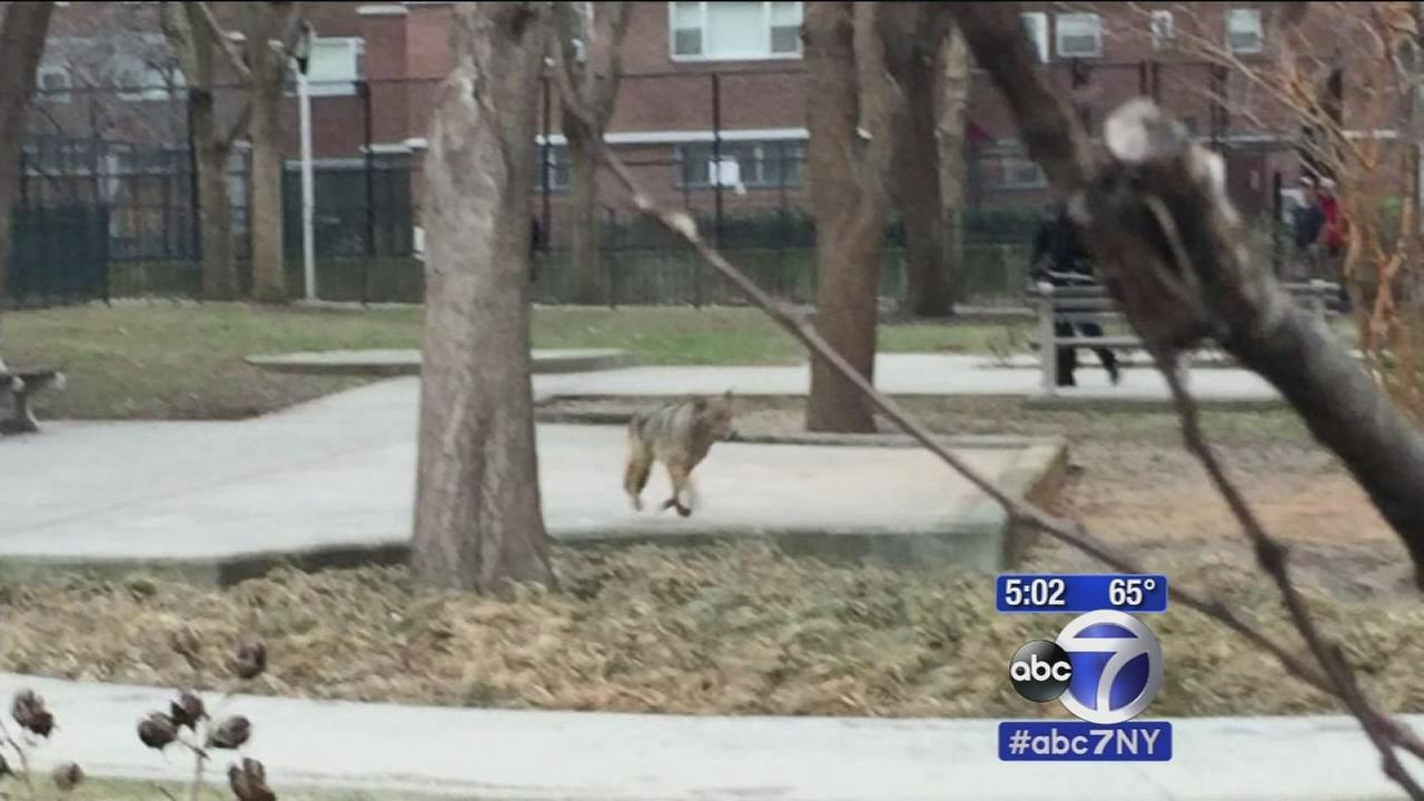 Coyote on the run in Chelsea