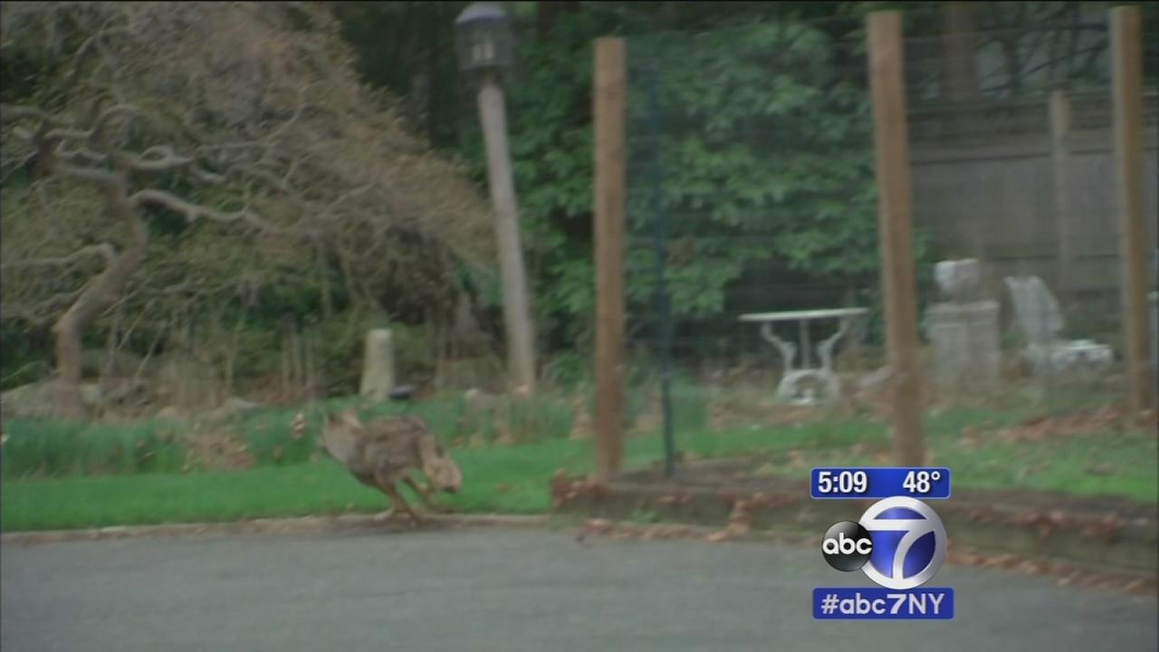NJ police hunt for wounded coyote