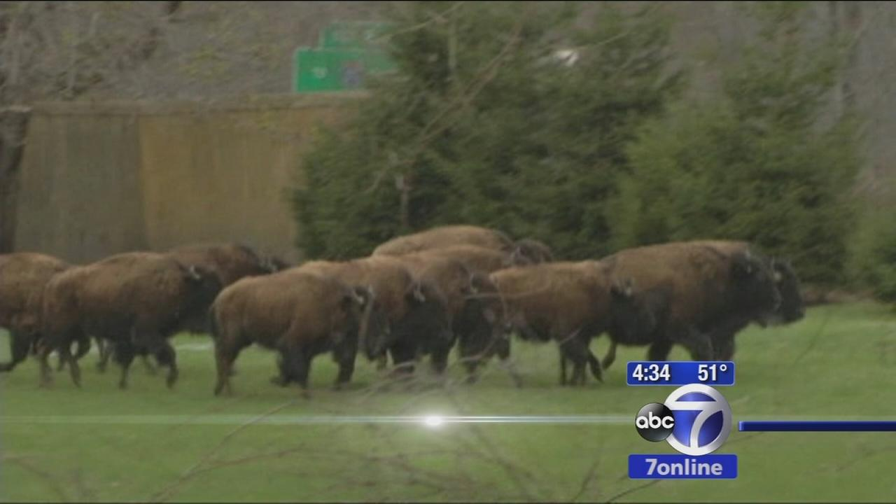 15 Bison shot and killed after stampede