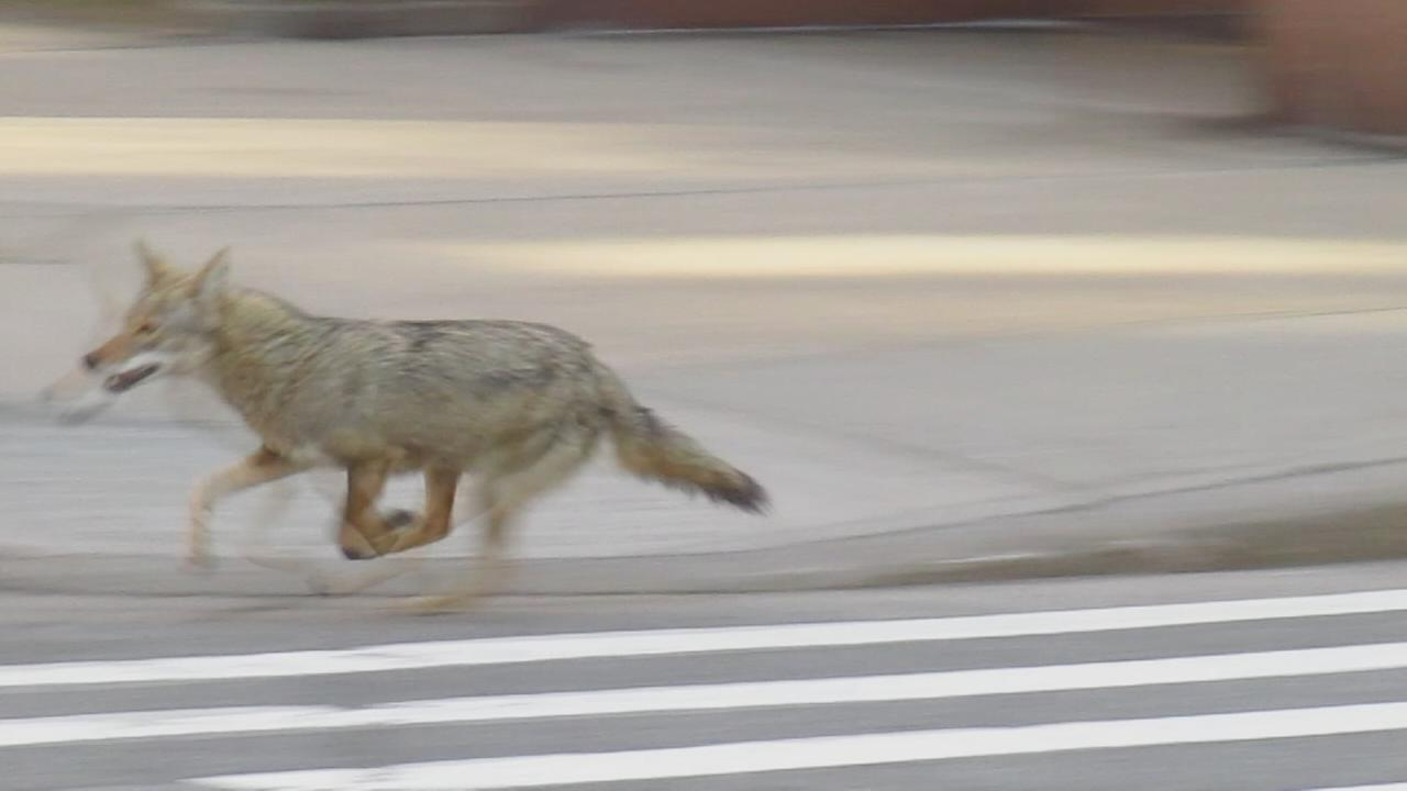 Coyote seen in Battery Park