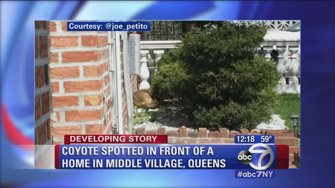 Coyote sighting in Queens