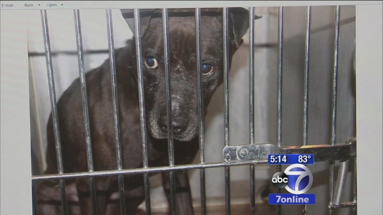 2 dogs rescued from dogfighting ring stolen