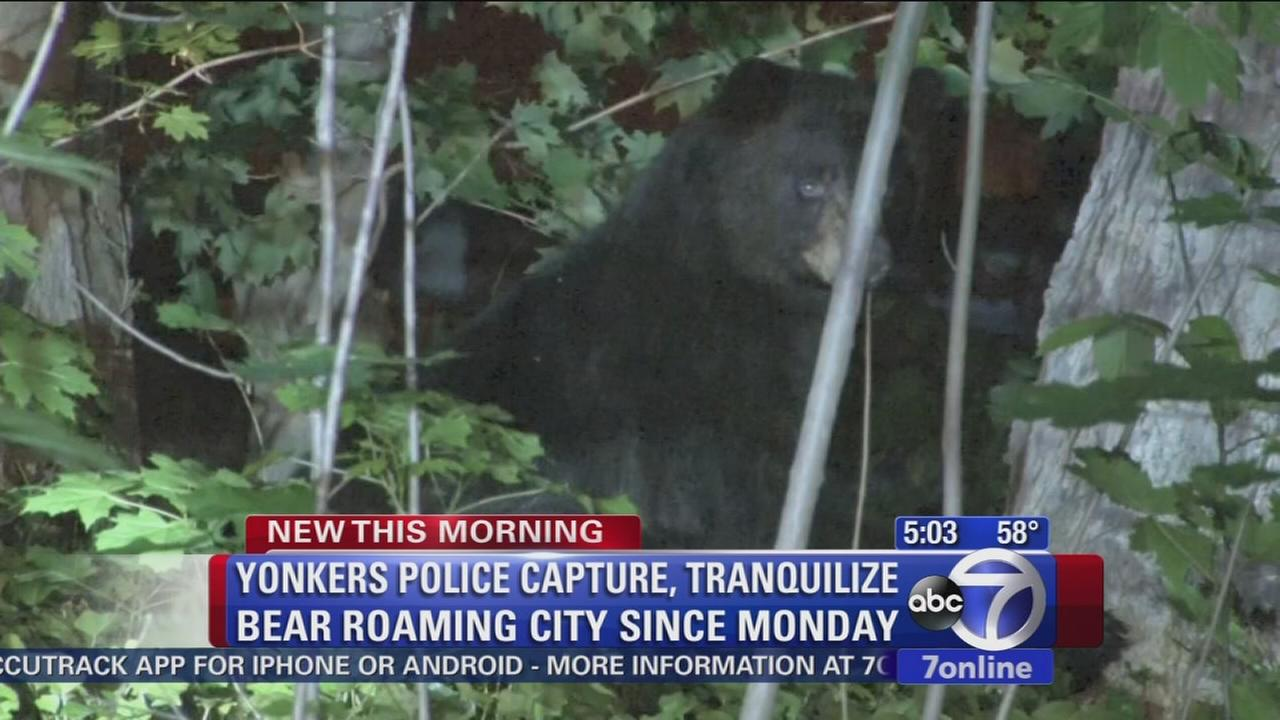 Bear roams through Yonkers