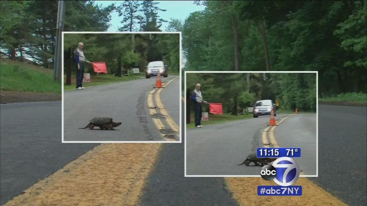 Volunteers helping snapping turtles cross busy roads in Rockland County