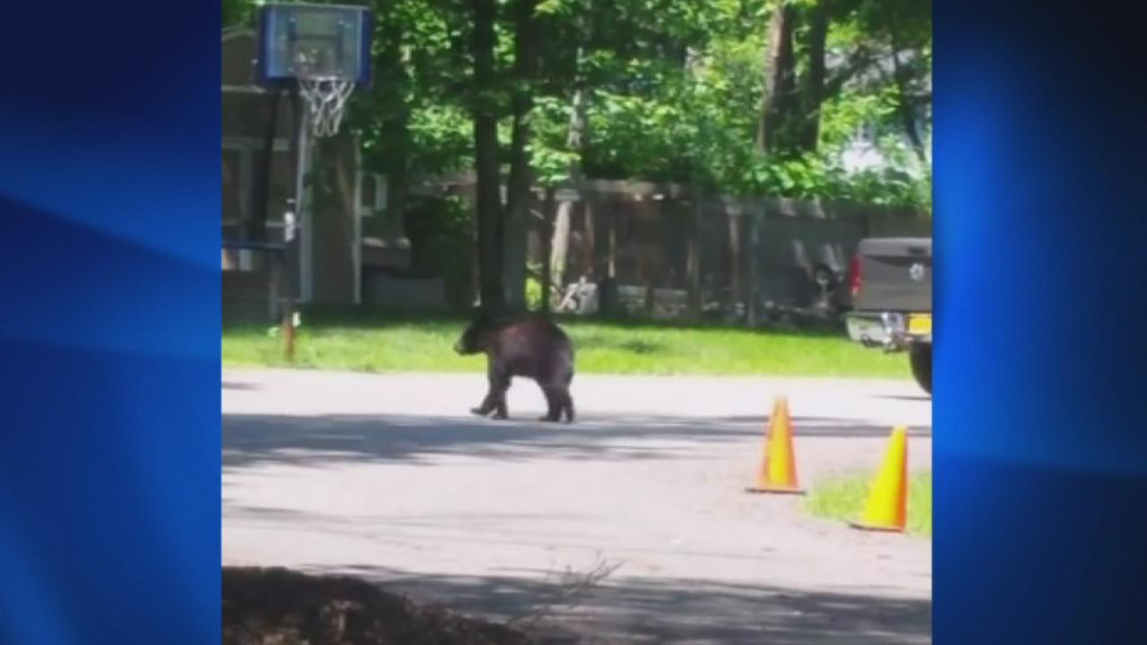 New City black bear on the run
