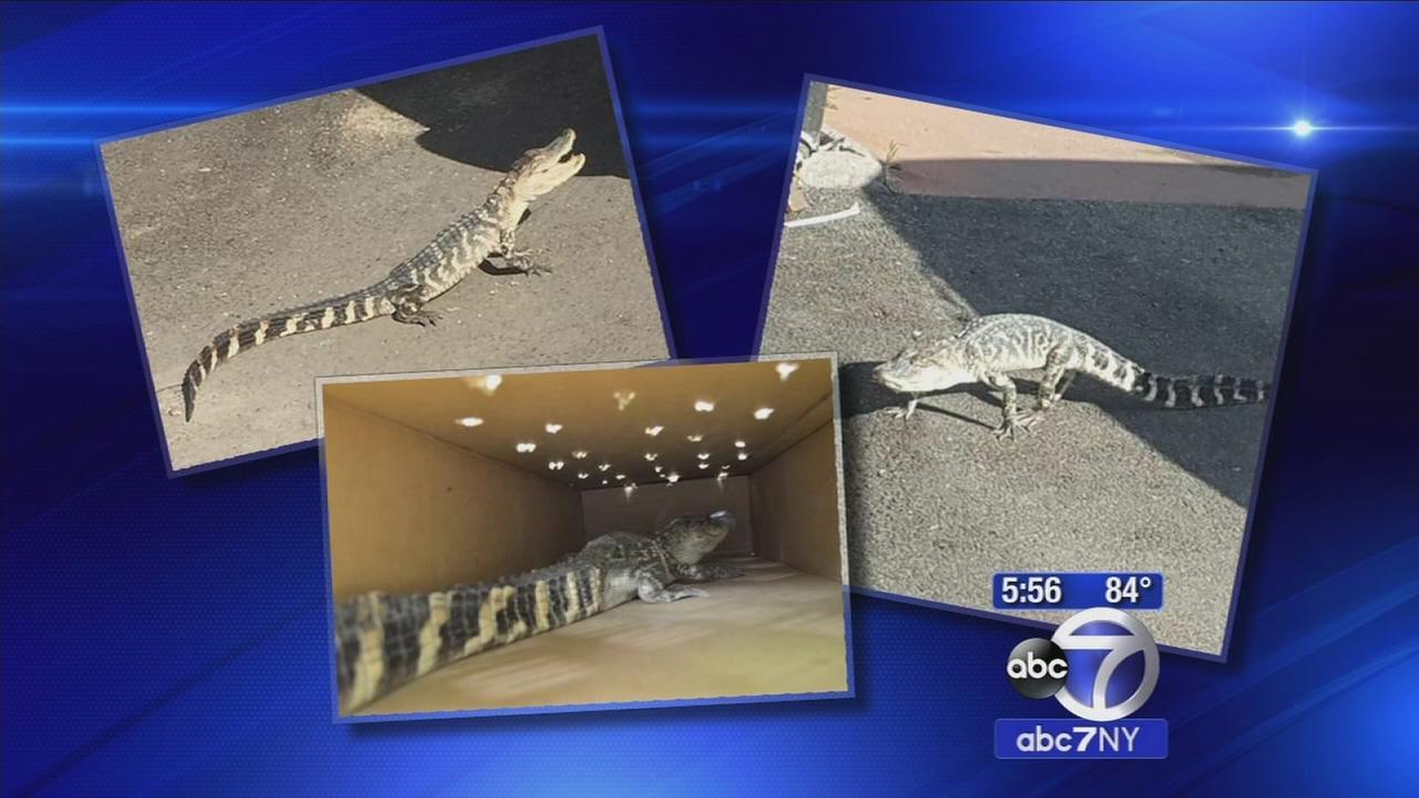 3-foot alligator found roaming Inwood streets dies