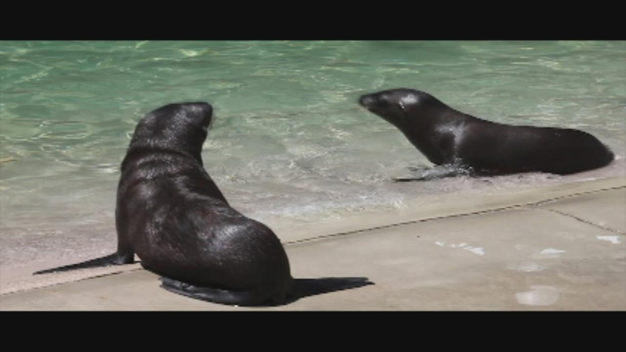 Six Flags welcomes sea lion pups