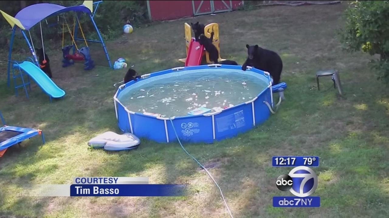 Bears party in pool