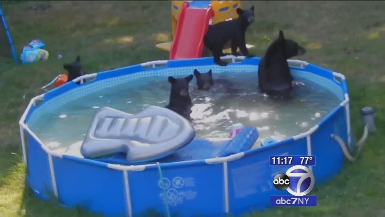 Mama bear and five cubs play in NJ familys pool