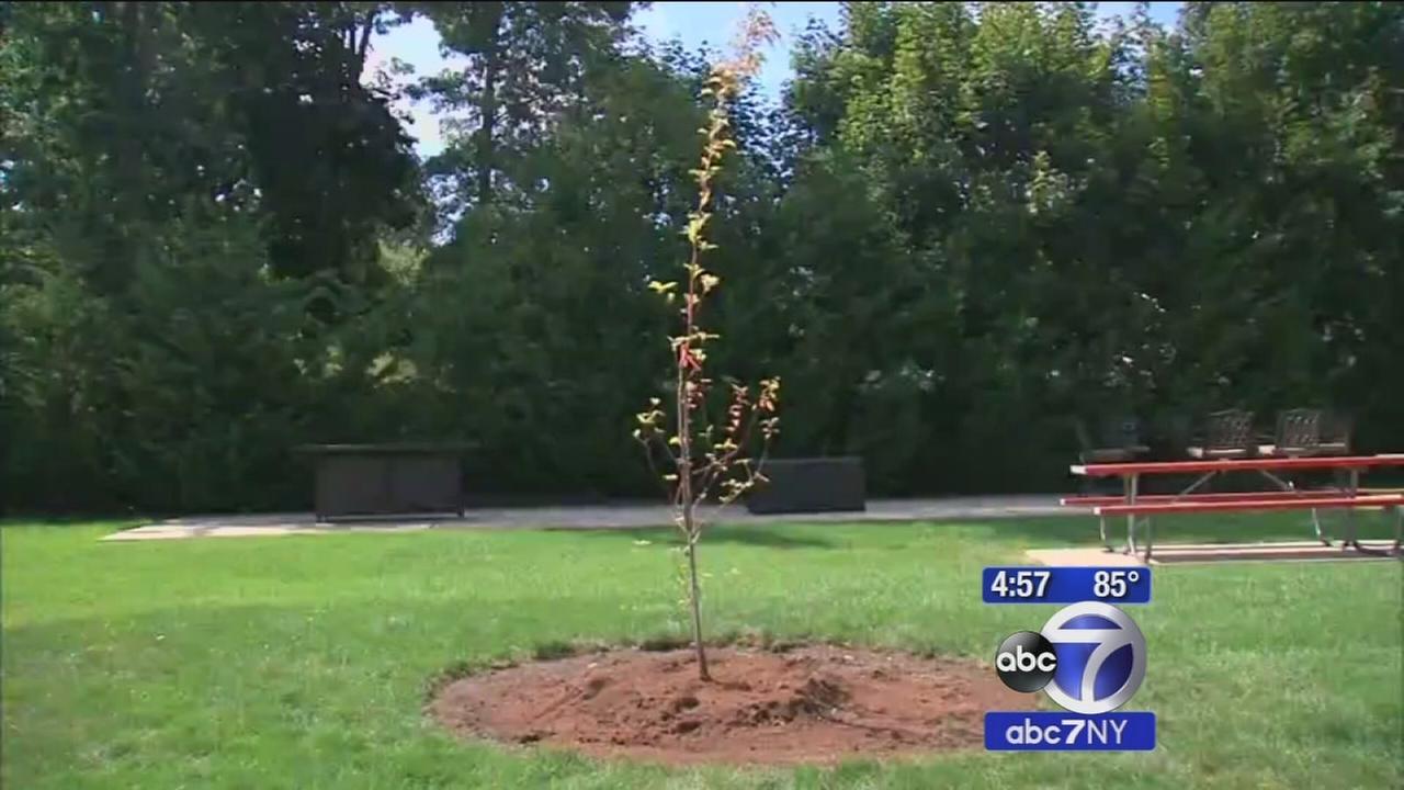 3 saplings of the 911 survivor tree go to Nassau County
