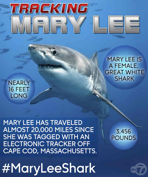 Great White Shark Named Mary Lee Spotted Off New Jersey