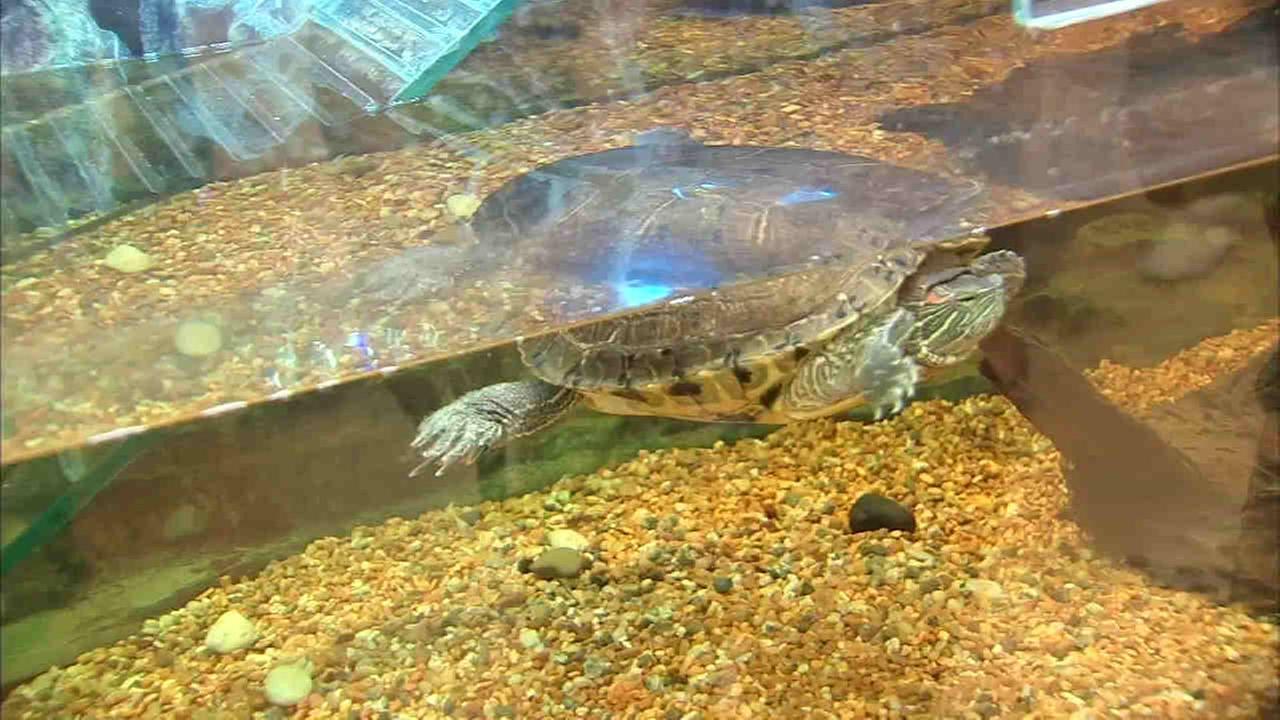A pet turtle in the new Sandy Hook Elementary School WABC