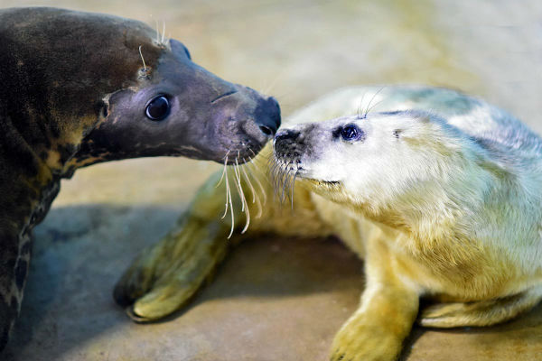 <div class='meta'><div class='origin-logo' data-origin='none'></div><span class='caption-text' data-credit='Jim Schulz/Chicago Zoological Society'>A gray seal pup with her mom Lily. The pup, born on January 2, 2016, is the year's first birth at Brookfield Zoo.</span></div>