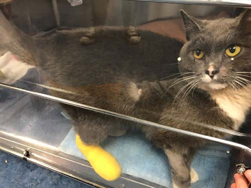 "<div class=""meta image-caption""><div class=""origin-logo origin-image none""><span>none</span></div><span class=""caption-text"">Celia the cat is recovering at a Chicago animal shelter after she crawled into the engine compartment of a pickup truck on the South Side over the weekend. (PAWS Chicago)</span></div>"
