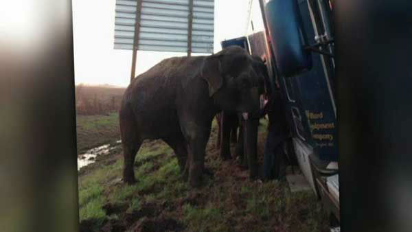 "<div class=""meta ""><span class=""caption-text "">Three elephants held up a tractor-trailer stuck on the muddy shoulder of a highway, preventing it from rolling into a ditch in Louisiana. (WLS Photo)</span></div>"