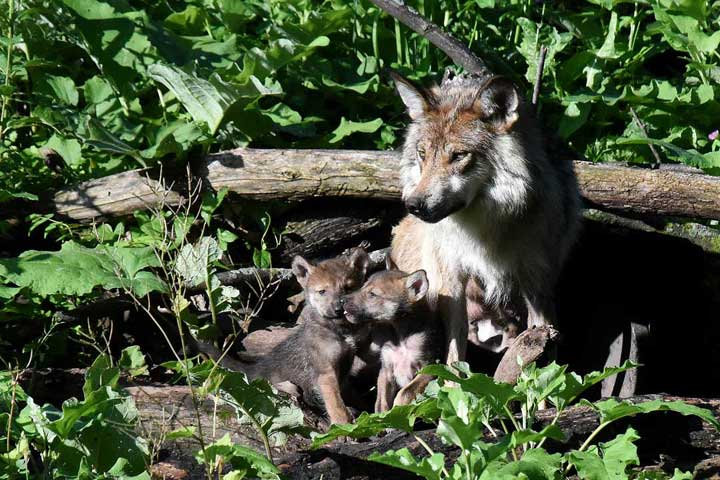 "<div class=""meta image-caption""><div class=""origin-logo origin-image none""><span>none</span></div><span class=""caption-text"">Zana, a 3-year-old Mexican gray wolf at Brookfield Zoo, with two of her puppies, who were born in late May and recently came out of their den. (Jim Schulz/Chicago Zoological Society)</span></div>"