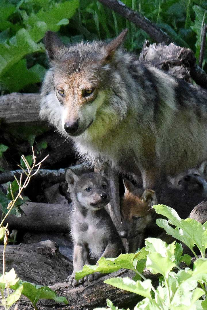 <div class='meta'><div class='origin-logo' data-origin='none'></div><span class='caption-text' data-credit='Jim Schulz/Chicago Zoological Society'>The Mexican gray wolf breeding program is managed for the U.S. Fish & Wildlife Service (USFWS) by the Association of Zoos and Aquariums' Mexican Gray Wolf Species Survival Plan.</span></div>