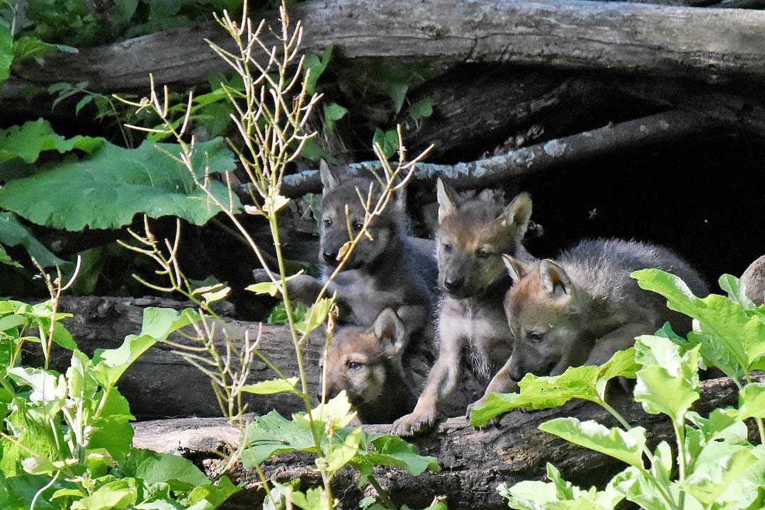 <div class='meta'><div class='origin-logo' data-origin='none'></div><span class='caption-text' data-credit='Jim Schulz/Chicago Zoological Society'>Mexican gray wolves are the rarest and most genetically distinct subspecies of North American gray wolves. If not for the recovery program, they would likely be extinct in wild.</span></div>