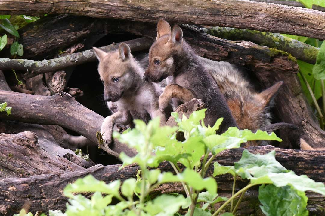 "<div class=""meta image-caption""><div class=""origin-logo origin-image none""><span>none</span></div><span class=""caption-text"">The US Fish & Wildlife Service first listed the Mexican gray wolves on the Endangered Species List in 1976. Currently 248 wolves live in 55 institutions in the US and Mexico. (Jim Schulz/Chicago Zoological Society)</span></div>"