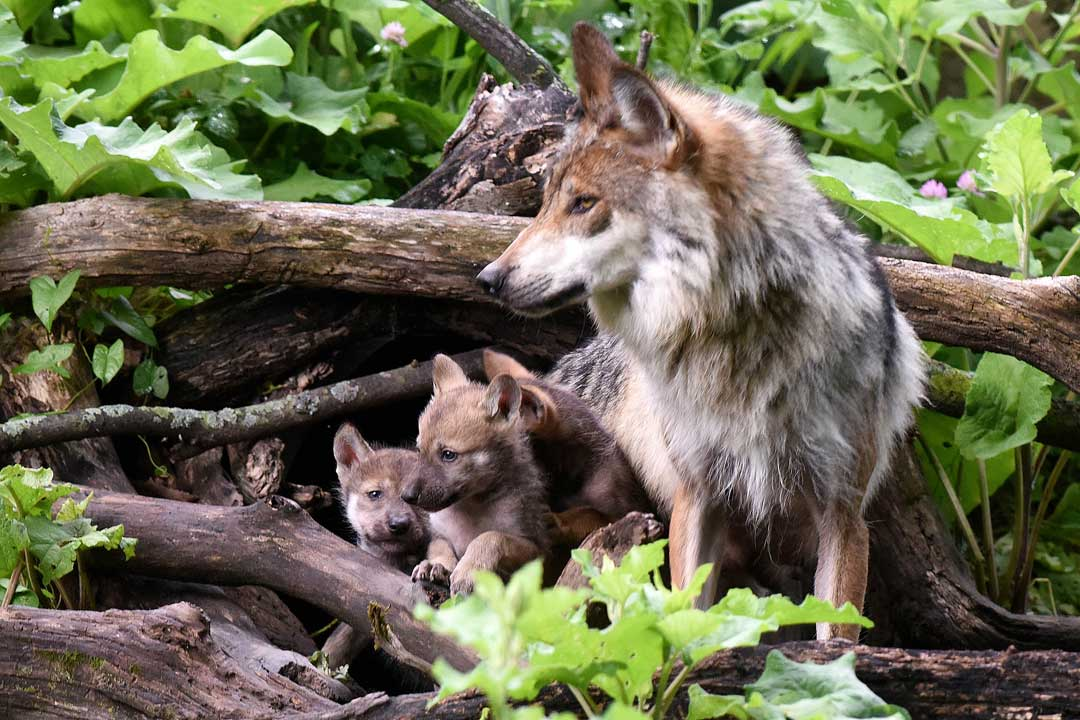 <div class='meta'><div class='origin-logo' data-origin='none'></div><span class='caption-text' data-credit='Jim Schulz/Chicago Zoological Society'>As of 2014, 110 wolves are living in the wild in Apache and Gila National Forests in Arizona and New Mexico as a part of reintroduction program.</span></div>