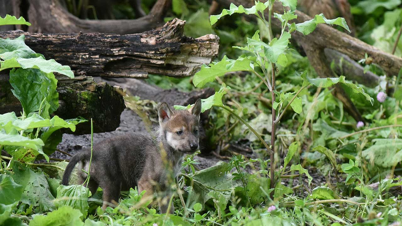 "<div class=""meta image-caption""><div class=""origin-logo origin-image none""><span>none</span></div><span class=""caption-text"">As of 2014, 110 wolves are living in the wild in Apache and Gila National Forests in Arizona and New Mexico as a part of reintroduction program (Jim Schulz/Chicago Zoological Society)</span></div>"