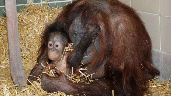 <div class='meta'><div class='origin-logo' data-origin='~ORIGIN~'></div><span class='caption-text' data-credit='WLS Photo/ Chicago Zoological Society'>Brookfield Zoo's newest baby orangutan, Kecil, bonds with his new surrogate mother, Maggie.</span></div>