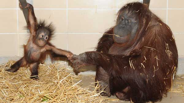 Brookfield Zoo's newest baby orangutan, Kecil, bonds with his new surrogate mother, Maggie. <span class=meta>WLS Photo/ Chicago Zoological Society</span>