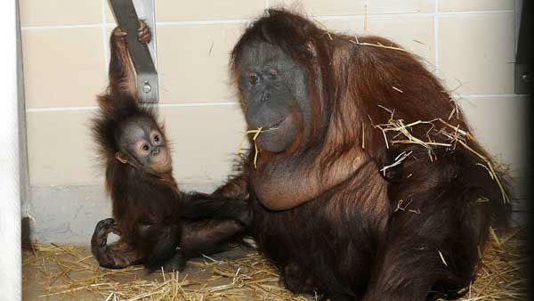 Brookfield Zoo&#39;s newest baby orangutan, Kecil, bonds with his new surrogate mother, Maggie. <span class=meta>(WLS Photo&#47; Chicago Zoological Society)</span>