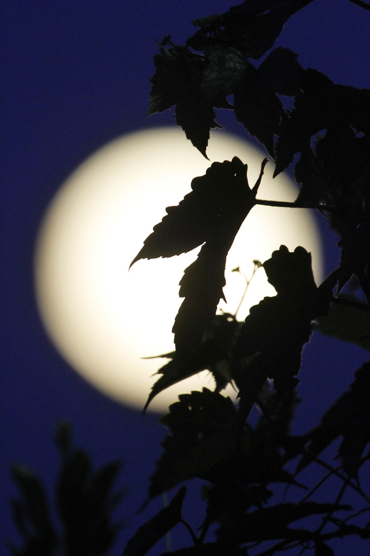 "<div class=""meta image-caption""><div class=""origin-logo origin-image ""><span></span></div><span class=""caption-text"">Climbing vines are silhouetted by the supermoon above Edgartown, Mass., Sunday, Aug. 10, 2014, on the island of Martha's Vineyard (AP Photo/Jacquelyn Martin)</span></div>"